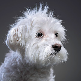 Maltese by Bob Hynson - Animals - Dogs Portraits ( maltese, white, dog, portrait, teddy,  )