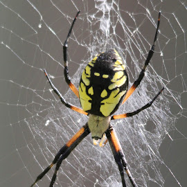 by Todd Yonkers - Nature Up Close Webs ( creepy, colorful, web, spider, yellow and black, garden spider )