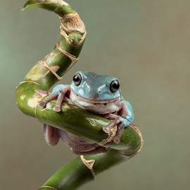 White Tree Frog by Lee Sutton - Animals Amphibians