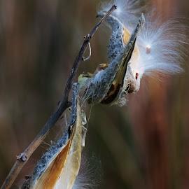 by Lori Kulik - Nature Up Close Other plants ( plant, up close, nature, fall, milkweed )
