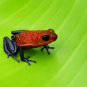 Blue-jeans Frog