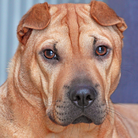 Thoughtful by Mia Ikonen - Animals - Dogs Portraits ( shar-pei mix, alert, beautiful, finland, thoughtful,  )