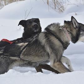 Determination by Mario Monast - Animals - Dogs Running ( animals, winter, dogs, nature, dogs running )