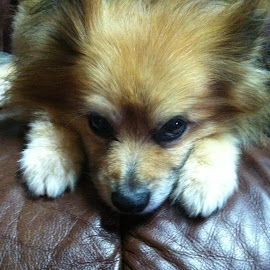 Shy Guy by Kaye Petersen - Animals - Dogs Portraits ( pup, shy, recliner, dog, pomeranian,  )