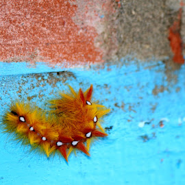 Prickly suspect by Andrew Barnes - Novices Only Wildlife ( orange, red, caterpillar, spikey,  )
