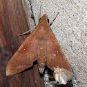 Crepiscular Hawkmoth