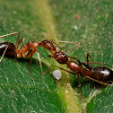 Carpenter Ant and Mealybug