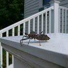 assasin bug aka wheel bug