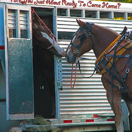 CAN WE GO HOME NOW?? by Barbara Craven - Typography Words ( trailer, horses, horse, transportation, captioned )