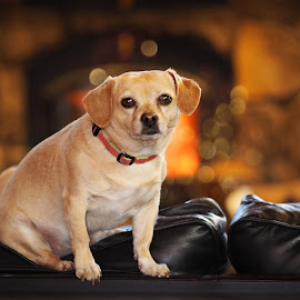 Fireplace bokeh by Becky Kempf - Animals - Dogs Portraits ( couch, fireplace, dog, bokeh )