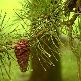 Rainy Day by Tim Hall - Nature Up Close Trees & Bushes ( pinecone, soft focus, pine tree, soft lighting, green, forest, rain drops, pine needle )