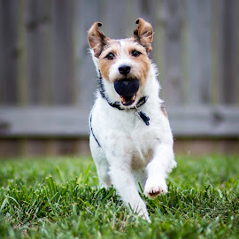 Got It! by Shawn Klawitter - Animals - Dogs Playing ( jack russell, terrier, dog, animal )