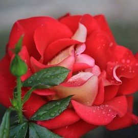 A rose by Tina Wiley - Nature Up Close Gardens & Produce ( flora, petals, botany, blooms, plants, shrub, botanical, rose, gardening, leafy, stems, flowers, garden, floral )