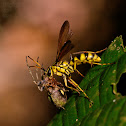 Yellow & Black Wasp with a paralyzed spider