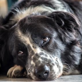 Dutch Resting by Cristobal Garciaferro Rubio - Animals - Dogs Portraits