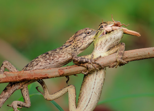 by Girdan Nasution - Uncategorized All Uncategorized ( lizard, lunch, nikon )