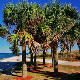 Palmetto Trees by Matthew Beziat - City,  Street & Park  City Parks ( sunshine state, florida parks, treasure coast, fort pierce parks, fort pierce, palmetto, palmetto palm, hutchinson island )