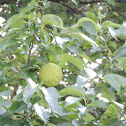 Osage-orange, hedge-apple, Horse-apple, Bois d'arc fruit