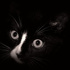 by Barry Van de Laar - Animals - Cats Kittens ( cats, kitten, animals, black and white, portrait, animal )