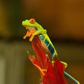 At the top by Mike O'Connor - Animals Amphibians ( perched, resting, lookout, watching, frog,  )