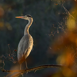 Grey heron by Jaroslaw Tomczyk - Animals Birds ( bird, tree, nature, morning, heron )