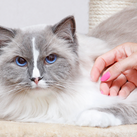 Comforting touch by Mia Ikonen - Animals - Cats Portraits ( ragdoll, gentle, finland, at ease, soft )