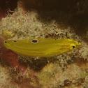 Canary Wrasse, Juvenile