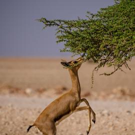 Ghasal by Ani Das - Animals Other ( animals, desert )