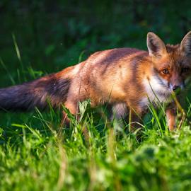 Fox by Stanislav Horacek - Animals Other Mammals
