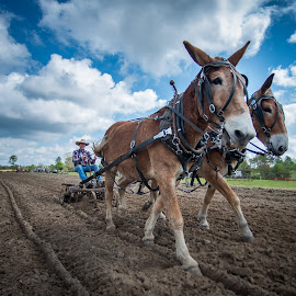 Mule Power by Sheldon Anderson - Animals Horses ( mule, animals, horse, implements, people, farming,  )