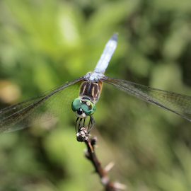 Dragonfly by Stardust Designs - Animals Insects & Spiders ( wing, green, dragon, marsh, insect, bog, eyes, flying, fly, wings, blue eyes, bug, summer, green eyes, dragonfly, swamp, eye )