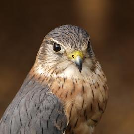 Merlin by Garry Chisholm - Animals Birds ( bird, garry chisholm, nature, wildlife, falcon, raptor, prey, kestrel, merlin, hawk )