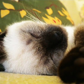by Karen Phil Griggs - Animals - Cats Kittens ( kitten, sleeping, siamese,  )