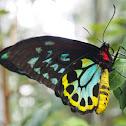 Cairns Birdwing (male)