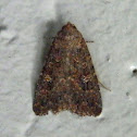 Noctuid Moth - Hypoperigea moth
