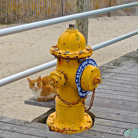 Atlantic City Kitty by T. Rick Jones - Animals - Cats Portraits ( fire hydrant, atlantic city, yellow, stray cat, kitty )
