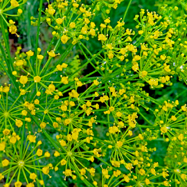 Dill in Bloom by Jane Spencer - Nature Up Close Gardens & Produce ( herb, dill, summer, pickles, garden )