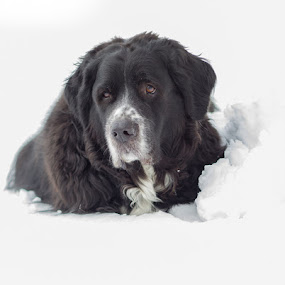 Samson by Christy Borders - Animals - Dogs Portraits ( black dog, mixed breed, winter, newfoundland, pyrenees, snow, mastiff )