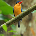 Paradise Kingfisher