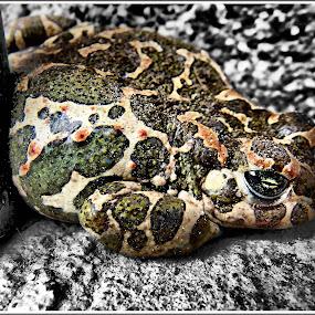 frog by Zlatko Sarcevic - Animals Amphibians ( animals, nature, frog, kétéltűek,  )