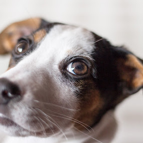 Pixie by Javier Luces - Animals - Dogs Puppies ( jack russell, puppy, dog, close-up, portrait )