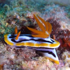 Nudi by Carlien Oberholzer - Animals Sea Creatures