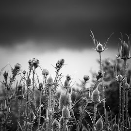 by LoRe ARG Mirando Vidrieras Virtuales - Nature Up Close Other plants ( thistle, campo, black and white, tormenta, storm, cardos, country )