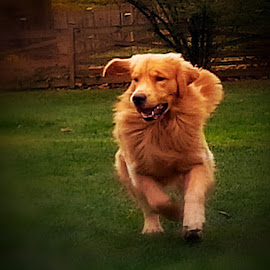 The Eye of the Tiger by Cecilia Sterling - Animals - Dogs Running ( puppies, dogs, show dog, puppy, dog, golden retriever,  )