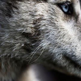 Shes like a wolf by Filip Kvakic - Animals - Dogs Portraits ( face, blue, wolf, husky, dog, nose, eyes )