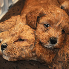 Pile of Puppies by Gary Aidekman - Animals - Dogs Puppies ( puppies, cockapoo, puppy, baby, young, animal )