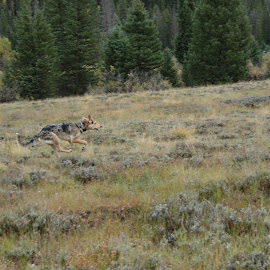 Catahoula puppy running by Tyler McLeod - Animals - Dogs Running ( camoflauge, camping, catahoula, colorado, forest, puppy, dog, puppy running )