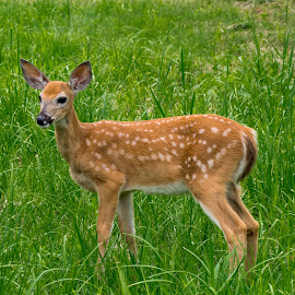 A Brave Soul by David Kobuszewski - Novices Only Wildlife ( field, doe, baby, mammal, deer,  )