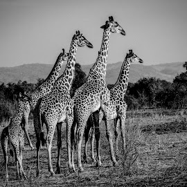 Giraffe by Ravi Kapadia - Animals Other ( canon, lion, tiger, kill, forest, travel, photography, adventure, tree, giraffe, safari, hunt, africa, dead, leopard, deer,  )