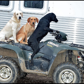 Everyone has a job on the farm! by Rob Ebersole - Animals - Dogs Playing ( labrador retriever, labs, quad, lab )